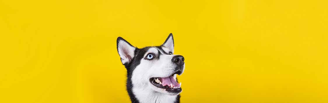 husky dog showing its teeth