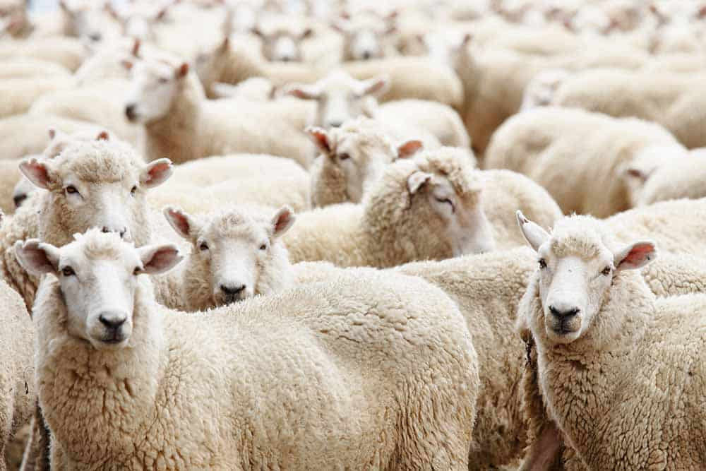 Multiple sheep in a herd
