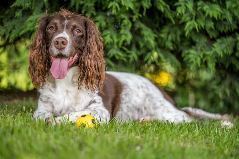 brown and white spaniel