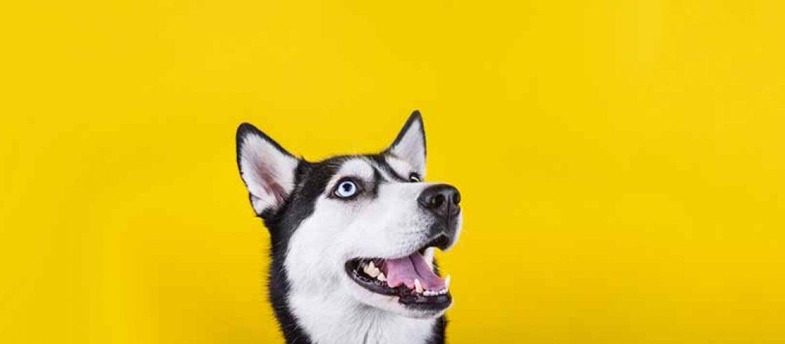 husky dog showing its teeth